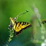 Ανατολική πεταλούδα Swallowtail τιγρών Στοκ εικόνες με δικαίωμα ελεύθερης χρήσης