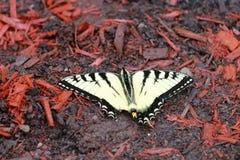 ανατολική τίγρη swallowtail Στοκ εικόνα με δικαίωμα ελεύθερης χρήσης