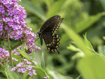 Ανατολική τίγρη Swallowtail, glaucus Papilio Στοκ φωτογραφία με δικαίωμα ελεύθερης χρήσης