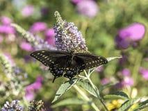Ανατολική τίγρη Swallowtail, glaucus Papilio Στοκ φωτογραφίες με δικαίωμα ελεύθερης χρήσης