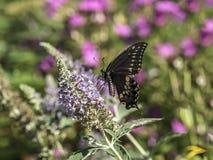Ανατολική τίγρη Swallowtail, glaucus Papilio Στοκ Εικόνα