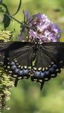 Ανατολική τίγρη Swallowtail, glaucus Papilio Στοκ Φωτογραφίες