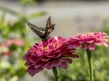 Ανατολική τίγρη Swallowtail, glaucus Papilio Στοκ εικόνες με δικαίωμα ελεύθερης χρήσης