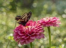 Ανατολική τίγρη Swallowtail, glaucus Papilio Στοκ εικόνα με δικαίωμα ελεύθερης χρήσης