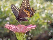 Ανατολική τίγρη Swallowtail, glaucus Papilio Στοκ Εικόνες