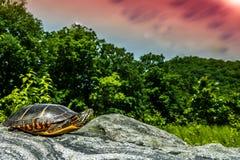 Ανατολική χρωματισμένη χελώνα Στοκ Εικόνες