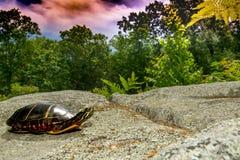 Ανατολική χρωματισμένη χελώνα Στοκ Φωτογραφία