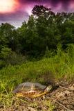 Ανατολική χρωματισμένη χελώνα Στοκ εικόνα με δικαίωμα ελεύθερης χρήσης