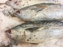 Ανατολικός λίγο ψάρι τόνου Στοκ Εικόνα