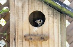 Ανατολικός αρχάριος Bluebird που κρυφοκοιτάζει από το κιβώτιο φωλιών birdhouse Στοκ Εικόνα