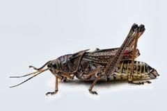 ανατολικός grasshopper πρωτάρης Στοκ φωτογραφία με δικαίωμα ελεύθερης χρήσης