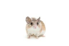 Ανατολικό ή αραβικό ακανθωτό ποντίκι, dimidiatus Acomys Στοκ Φωτογραφία