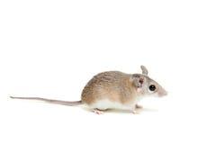 Ανατολικό ή αραβικό ακανθωτό ποντίκι, dimidiatus Acomys Στοκ εικόνα με δικαίωμα ελεύθερης χρήσης