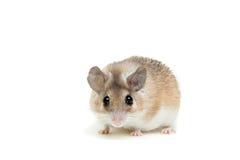 Ανατολικό ή αραβικό ακανθωτό ποντίκι, dimidiatus Acomys Στοκ Εικόνες