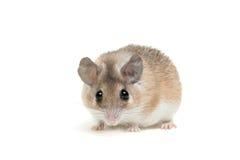 Ανατολικό ή αραβικό ακανθωτό ποντίκι, dimidiatus Acomys Στοκ εικόνες με δικαίωμα ελεύθερης χρήσης