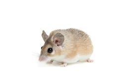 Ανατολικό ή αραβικό ακανθωτό ποντίκι, dimidiatus Acomys Στοκ Φωτογραφίες