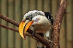 Ανατολικό κίτρινος-τιμολογημένο Hornbill (Tockus Flavirostris) Στοκ φωτογραφία με δικαίωμα ελεύθερης χρήσης