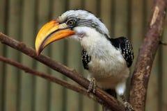 Ανατολικό κίτρινος-τιμολογημένο Hornbill (Tockus Flavirostris) Στοκ Εικόνες