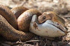 Ανατολικό καφετί φίδι εναντίον της σαύρας Bluetongue Στοκ Φωτογραφίες