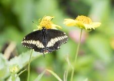 Ανατολικό μαύρο Swallowtail Στοκ εικόνα με δικαίωμα ελεύθερης χρήσης
