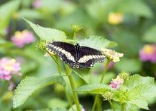 Ανατολικό μαύρο Swallowtail Στοκ φωτογραφίες με δικαίωμα ελεύθερης χρήσης