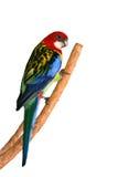 Ανατολικό πουλί παπαγάλων Rosella Στοκ φωτογραφίες με δικαίωμα ελεύθερης χρήσης