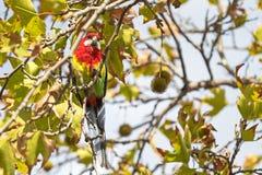 Ανατολικό πουλί Rosella που σκαρφαλώνει στο γλυκό κλάδο δέντρων γόμμας στο νότο Στοκ Εικόνες