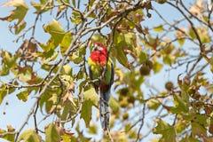 Ανατολικό πουλί Rosella που στηρίζεται στο γλυκό κλάδο δέντρων γόμμας, νότος Aus Στοκ Φωτογραφία
