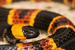 Ανατολικό φίδι κοραλλιών Στοκ Εικόνες