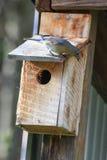 Ανατολικό Bluebird που τείνει να τοποθετηθεί Στοκ Φωτογραφία