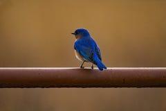 Ανατολικό Bluebird σε μια πύλη Στοκ Εικόνα