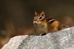 Ανατολικό Chipmunk - striatus tamias Στοκ εικόνες με δικαίωμα ελεύθερης χρήσης