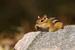 Ανατολικό Chipmunk - striatus tamias Στοκ φωτογραφίες με δικαίωμα ελεύθερης χρήσης