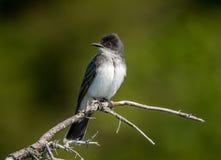 ανατολικό kingbird Στοκ εικόνα με δικαίωμα ελεύθερης χρήσης