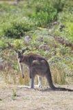 ανατολικό macropus καγκουρό giganteus &g Στοκ Εικόνες