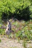 ανατολικό macropus καγκουρό giganteus &g Στοκ φωτογραφίες με δικαίωμα ελεύθερης χρήσης