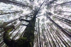 Ανατρέχοντας, δέντρο στο δάσος κωνοφόρων δέντρων Στοκ Φωτογραφία