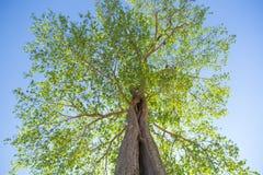 ανατρέχοντας δέντρο Στοκ Φωτογραφία
