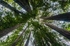 Ανατρέχοντας σε ένα δάσος redwood, Καλιφόρνια Στοκ Εικόνες