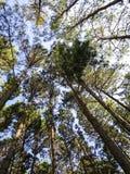 Ανατρέχοντας στον ηλιόλουστο ουρανό στο πάρκο δέντρων πεύκων, βόρειο Thail Στοκ φωτογραφίες με δικαίωμα ελεύθερης χρήσης