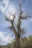 Ανατριχιαστικό δέντρο Cottonwood στοκ εικόνες με δικαίωμα ελεύθερης χρήσης