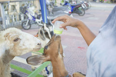 Ανατροφή των αιγών γάλακτος Στοκ Φωτογραφία