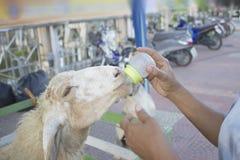 Ανατροφή των αιγών γάλακτος Στοκ εικόνα με δικαίωμα ελεύθερης χρήσης