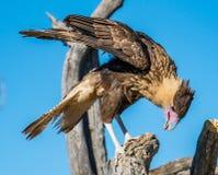 Αναφερόμενα στα πτηνά αρπακτικά πτηνά στο Tucson Αριζόνα Στοκ Φωτογραφίες