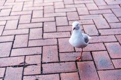 Αναφερόμενο στα πτηνά λάκτισμα Champ Στοκ εικόνα με δικαίωμα ελεύθερης χρήσης