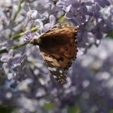 Αναφυλαξία πεταλούδων στα ιώδη χρώματα Κνίδωση πεταλούδων Στοκ εικόνες με δικαίωμα ελεύθερης χρήσης