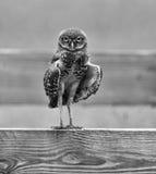 Αναλαμπτήρας κουκουβαγιών Burrowing Στοκ φωτογραφίες με δικαίωμα ελεύθερης χρήσης