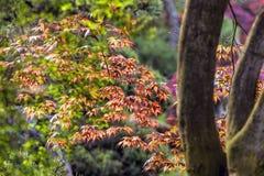 Αναδρομικά φωτισμένα ιαπωνικά φύλλα σφενδάμου Στοκ φωτογραφία με δικαίωμα ελεύθερης χρήσης
