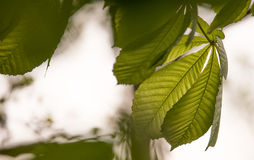 Αναδρομικά φωτισμένα διαφανή πράσινα φύλλα Στοκ Εικόνες