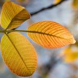 Αναδρομικά φωτισμένα καμμένος πορτοκαλιά και κίτρινα φύλλα δέντρων Στοκ εικόνα με δικαίωμα ελεύθερης χρήσης